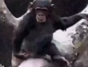 Monkey Smells ass and falls down